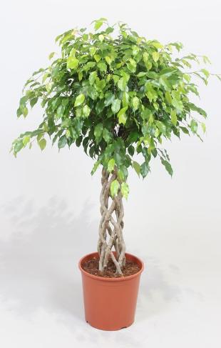 Open weave Ficus Benjamina